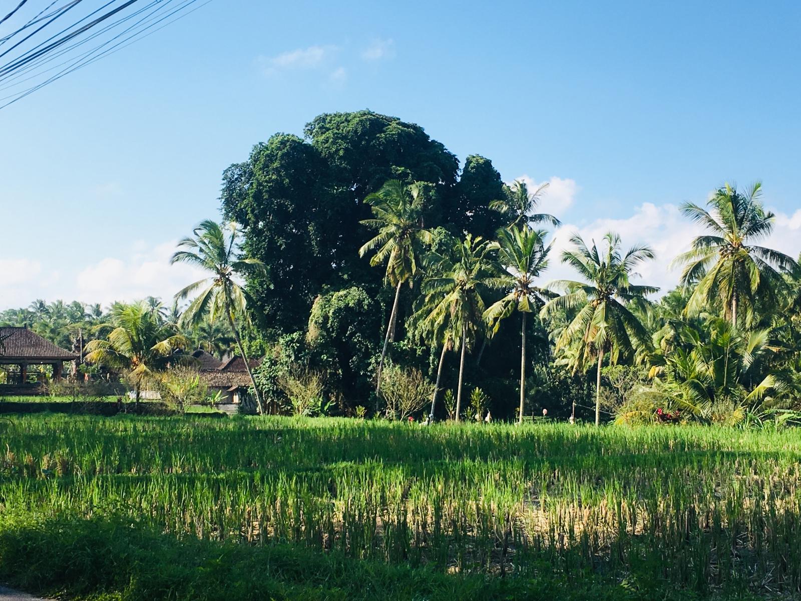 plantații de orez