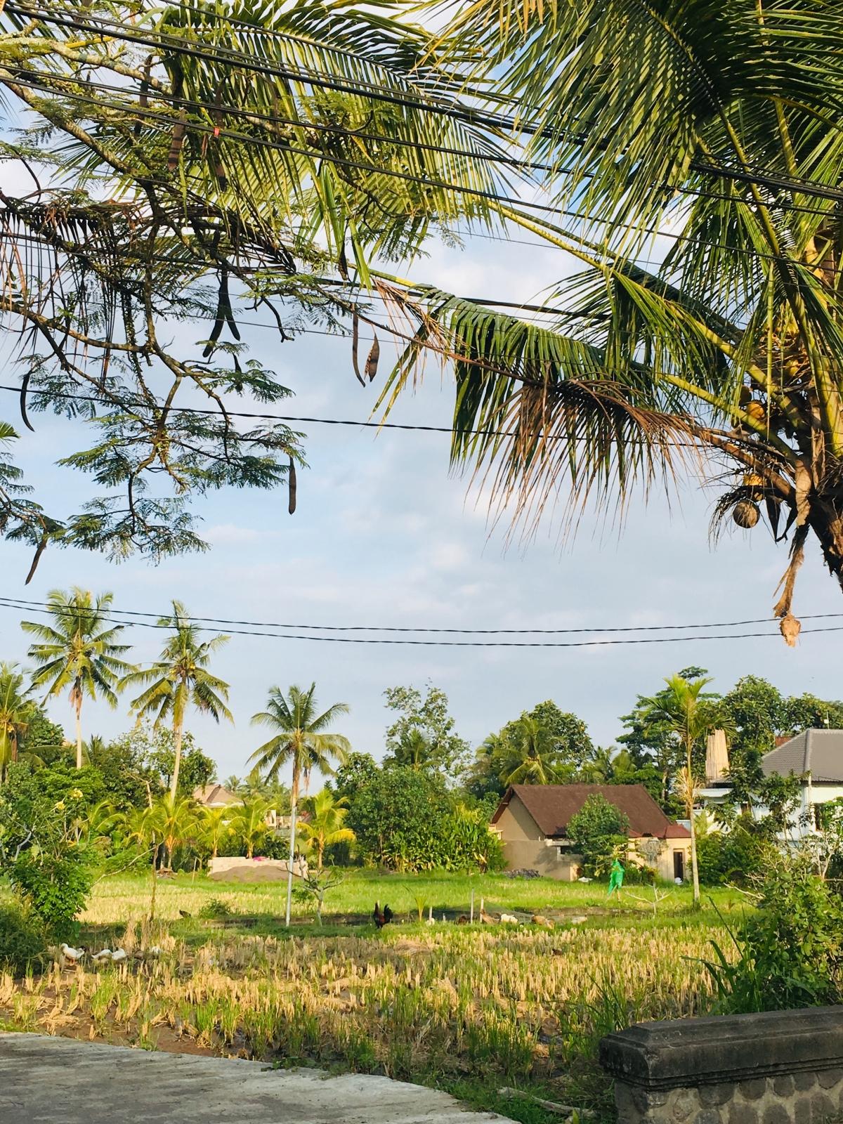 plantatii de orez